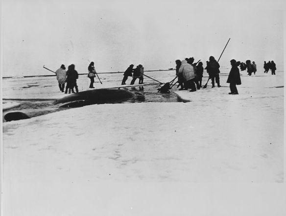 Whale slaughter in the 1933 docu-drama Eskimo.